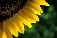 A quarter of a blooming sunflower Stock Photos