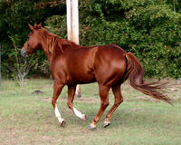 Quarter Horse. Sorrel Quarter Horse Mare Royalty Free Stock Photos