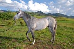 Quarter Horse. Dapple Gray Quarter Horse On A Ranch In Montana royalty free stock photos