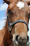 Quarter Horse Royalty Free Stock Photo