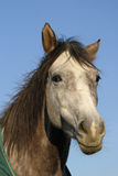 Quarter horse. Portrait of a 3 year old Quarter horse looking friendly stock photos