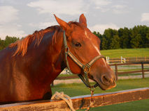 Quarter Horse Royalty Free Stock Photography