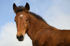Quarter horse colt Royalty Free Stock Image