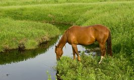 Quarter Horse At Creek. Sorrel quarter horse mare drinking from a stream, green pasture. Credit line: Becky Hermanson royalty free stock images