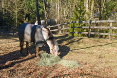 Quarter horse eating in corral Royalty Free Stock Image