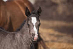 Quarter horse foal Stock Image