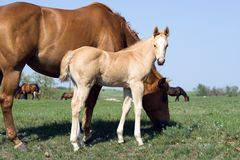Quarter horse foal Stock Images