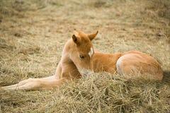 Quarter horse foal. Dun quarter horse foal laying down in green hay Royalty Free Stock Photos