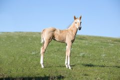 Quarter horse foal Royalty Free Stock Image