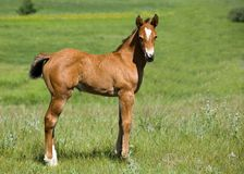 Free Quarter Horse Foal Royalty Free Stock Photography - 5606997