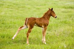 Quarter horse foal. Sorrel quarter horse foal in green pasture Stock Photo
