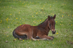Quarter horse foal laying down royalty free stock image