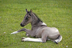 Quarter Horse Foal resting Royalty Free Stock Images