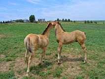Quarter Horse foals playing. Dun quarter horse foals playing together in a pasture Royalty Free Stock Photos