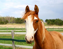 Quarter horse gelding. Image of a quarter horse, belgian, arabian mix standing at attention in the pasture on a sunny day Stock Image