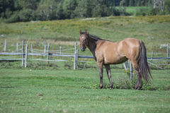 Quarter horse gelding standing in a field. Located in Quebec, Canada Royalty Free Stock Photos