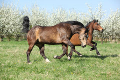 Quarter horse and hutsul running in front of flowering trees Royalty Free Stock Images