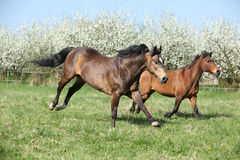 Quarter horse and hutsul running in front of flowering trees Royalty Free Stock Photos