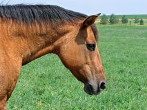 Quarter horse mare. Dun quarter horse mare profile shot Stock Photo