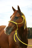 Quarter Horse Mare. Sorrel quarter horse mare wearing yellow rope halter, head portrait, pale blue overcast sky, wooden fence in background royalty free stock image