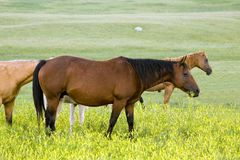 Quarter horse mare royalty free stock photography