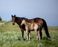 Quarter Horse Mare And Foal In Green Pasture Royalty Free Stock Photography