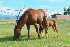 Quarter Horse Mare and Filly Stock Images