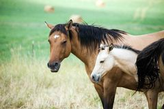 Quarter horse mare and foal Royalty Free Stock Photos