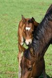 Quarter horse mare and foal royalty free stock photo