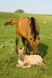 Quarter horse mare and foal Royalty Free Stock Images