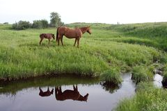 Quarter horse mare and foal Royalty Free Stock Image
