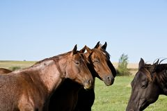 Quarter horse mares. In pasture stock photos
