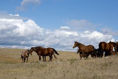 Quarter Horse Mares In Pasture Royalty Free Stock Images