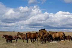 Quarter horse mares on priarie Royalty Free Stock Photography