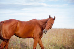 Quarter horse in meadow Stock Photos