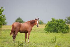 Quarter horse in meadow. Chestnut colored quarter horse in a meadow on a stormy day in Kansas Royalty Free Stock Photography