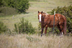Quarter horse in pasture. Chestnut colored quarter horse behind barbed wire fence on pasture Stock Photo