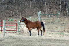 Quarter Horse in a Pasture Royalty Free Stock Photography