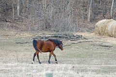 Quarter Horse in a Pasture Royalty Free Stock Image