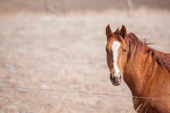Quarter horse in pasture. Chestnut colored quarter horse behind barbed wire fence in pasture Stock Photos