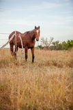 Quarter horse in pasture Stock Photography