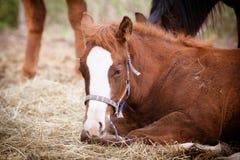 Quarter Horse portrait Stock Images