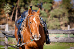Quarter Horse portrait Stock Photos