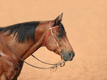 Quarter Horse Profile Royalty Free Stock Images