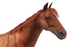 Quarter horse Stock Photo