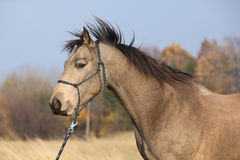 Quarter horse with rope halter in autumn Stock Photography