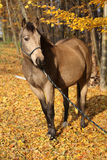 Quarter horse with rope halter in autumn Stock Photos