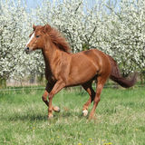 Quarter horse running in front of flowering trees Royalty Free Stock Image