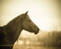 Quarter horse - sepia Royalty Free Stock Photo
