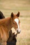 Quarter horse sorrel foal. Sorrel quarter horse foal with white face markings Stock Image